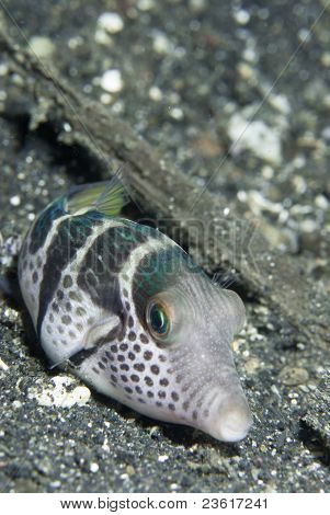 Pouting Pufferfish