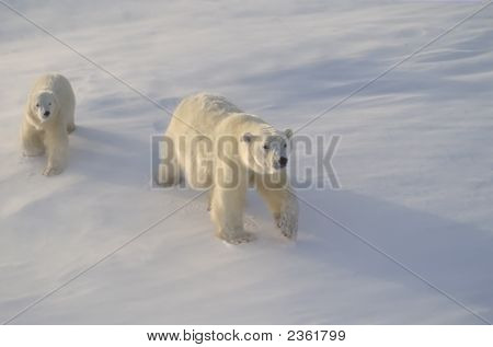 Polar Bear And Cub In Canadian Arctic