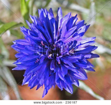 Cornflower 1
