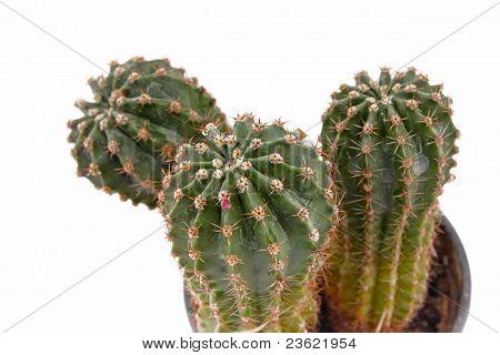 Green cactus closeup