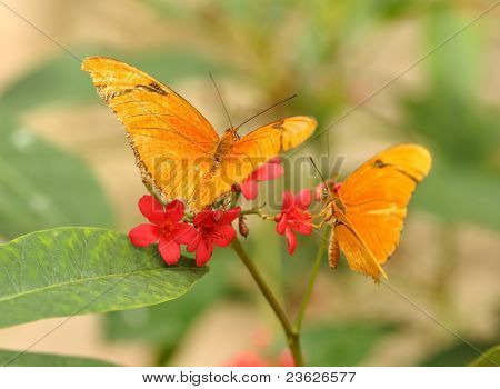 Yellow Tropical Butterflys