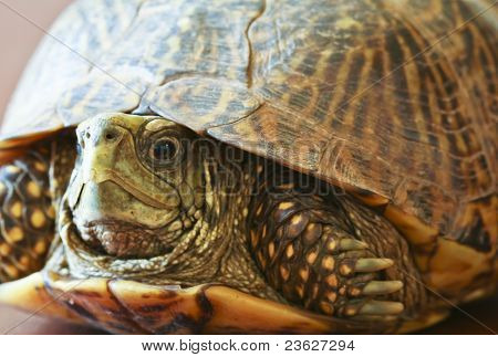 A Close Up Of A Western Box Turtle