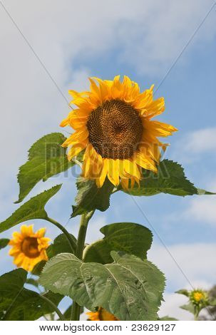 Some Sunflowers On A Field