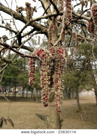 Spring Poplar Blossom