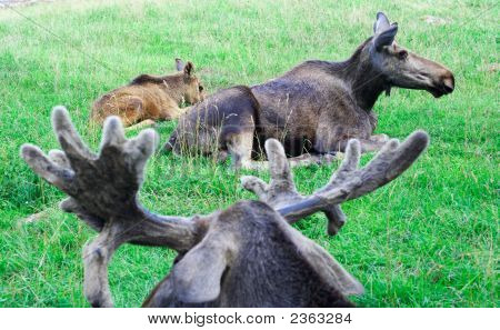 Resting Family Of Mooses