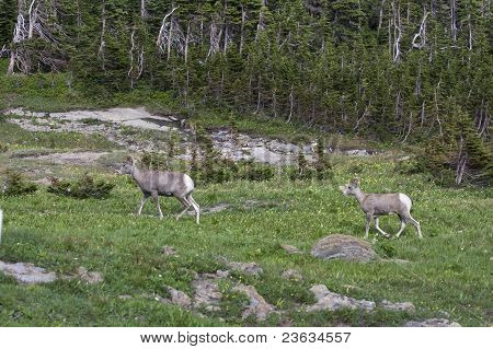 Big Horn Sheep in Spring