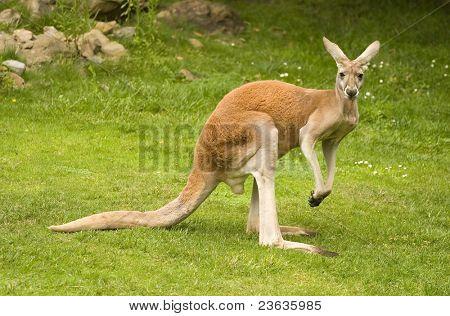 Red canguro, Macropus rufus
