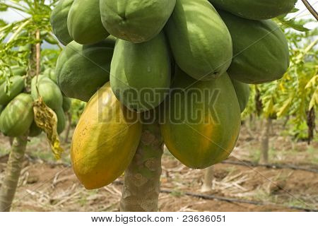 Papayas in the tree, in a Mexican Plantation
