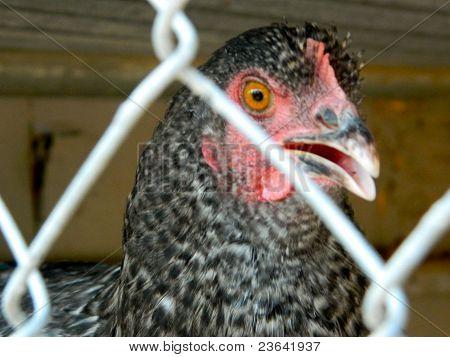 Evil Glare of the Hen