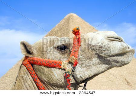 Egyptian Camel