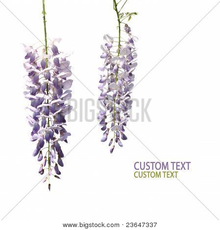 Two Wisteria Flowers