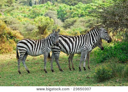 Zebras Family With Foals