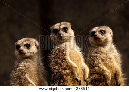 Animal Meercat Trio