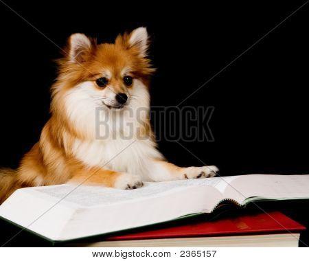 Pomeranian Prodige