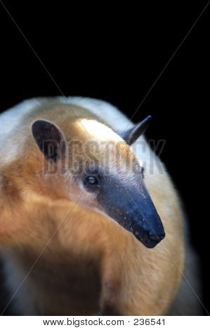 Animal Tamandua Wildlife