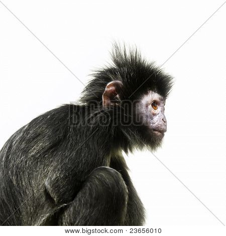An image of a black ape with orange eye
