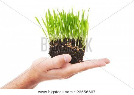 Pasto de trigo en la mano