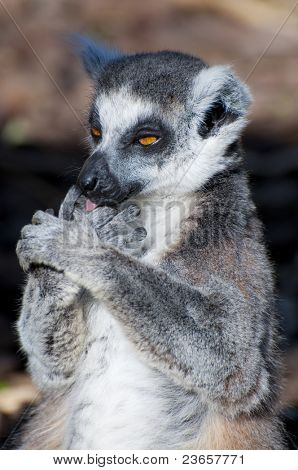 Picture of a nice lemur with beautiful eyes and skin.