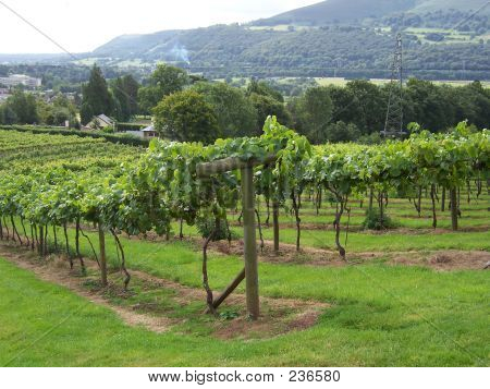 Sugarloaf Vineyard