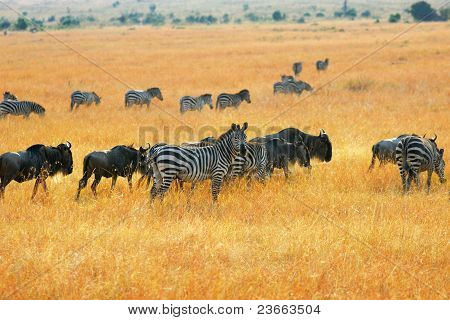 Zebras And Antelopes Wildebeest In The Savannah