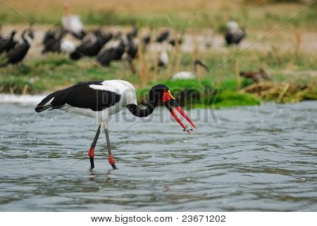 Saddle-billed Stork With Fish (ephippiorhyncbus Senegalensis)
