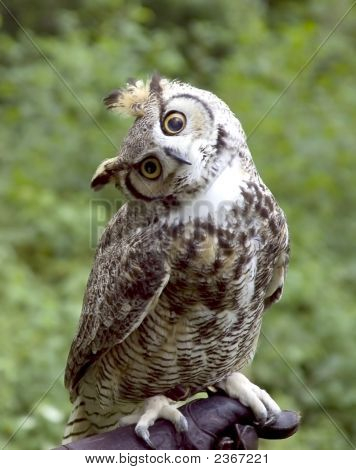 Whodo There Owl