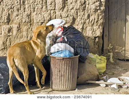 Stray Dog Searching Food