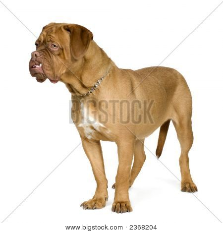 Dogue De Bordeaux (10 Months)