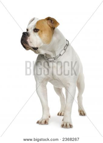 American Bulldog (4 Years)