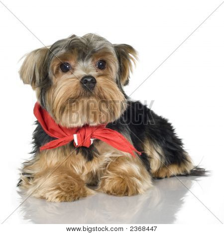 Yorkshire Terrier (1 Year)