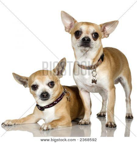 Chihuahua (2 And 6 Years)