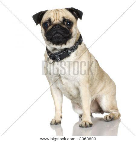 Pug (2 Years)