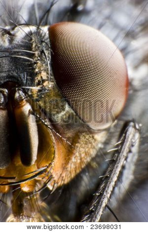 Half Portrait Of Fly