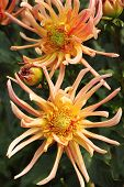 Rse-colored Dahlia Flowers In The Botany Garden poster