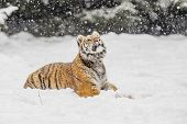 Siberian Tiger In The Winter Taiga. Siberian Tiger Lying In Snow In A Winter Taiga. Tiger In Wild Wi poster