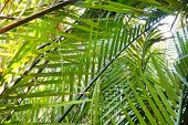 Palm Leaves As A Background. Nature Wallpaper Concept.(nypa,atap Palm,nipa Palm, Mangrove Palm), Abs poster