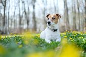 Jack russel terrier on yellow flowers meadow. Happy Dog with serious gaze poster