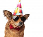 close up of cool classy dog ready for birthday party and looking to side while sitting on white back poster