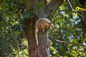 image of coatimundi  - coati jumping from branch to branch in a zoo - JPG