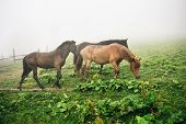 Three Horses On A Meadow With Green Grass Covered With Fog In Summer. Herd Of Horses On A Meadow poster