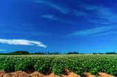 Field of flowering potato plants in rural Prince Edward Island, Canada. poster