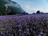 Alpine Meadows Covered With Violet Flowers In The Mountain Meadows Of Cape Aya Are Above The Level O poster