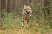 The gray wolf or grey wolf (Canis lupus) standing on a rock poster