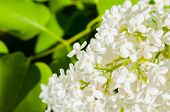 Lilac Flowers, Spring Flower Background. Selective Focus At The Central Lilac Flowers, Soft Focus Ap poster