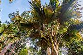 Sea Coconut Or Lodoicea Maldivica Also Known As Coco De Mer Or Double Coconut. Male Palm poster
