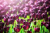 Beautiful Violet Or Purple Tulips On Spring Garden. Field Of Blooming Purple Tulips. Vibrant Purple  poster