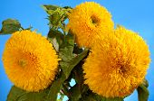 Giant Sungold hybrid sunflowers - Helianthus annuus - Sungold Teddy Bear sunflowers