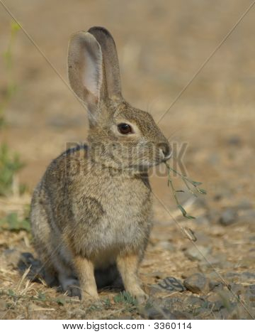 Cotton Tail Rabbit