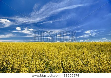 The Field Of Flowering Oilseed Rape