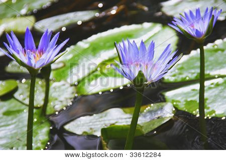 Beautiful Water Lilies On The Water